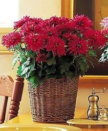 Chrysanthemum plant.