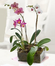Dramatic Orchid Plants