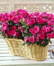 Pink azalea plants in a large wicker basket.
