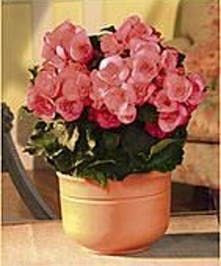 Blooming plants For indoor or outdoor use.
