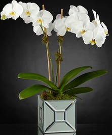 Phalaenopsis orchid plants (two stems) in a mirrored cube vase.