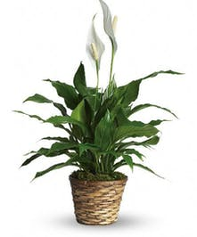 Blooming Peace Lily Plant