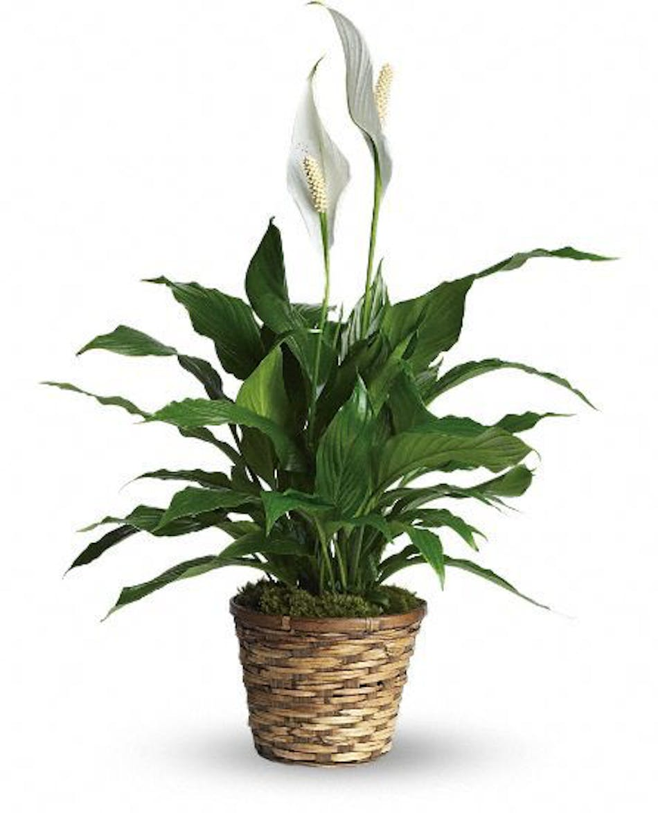 Blooming Peace Lily Sympathy Plant For Dallas Fort Worth Delivery